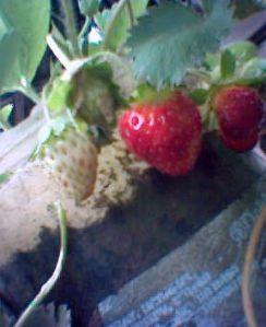 Cara Berkebun strawberry di dataran rendah